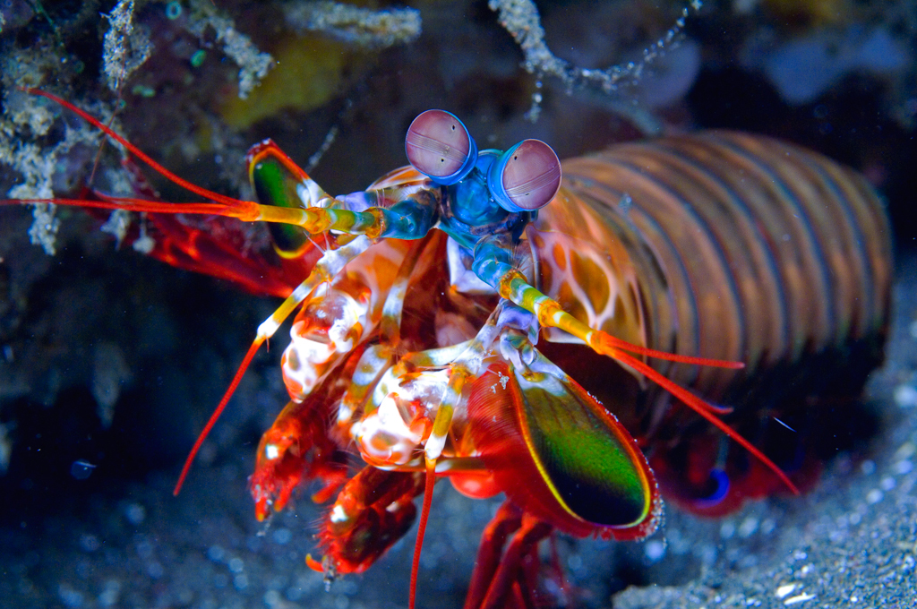 mantis-shrimp1