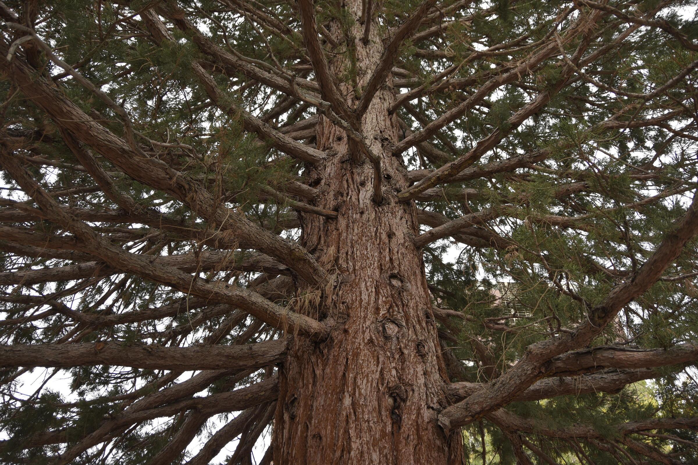 Boise Sequoia.JPG